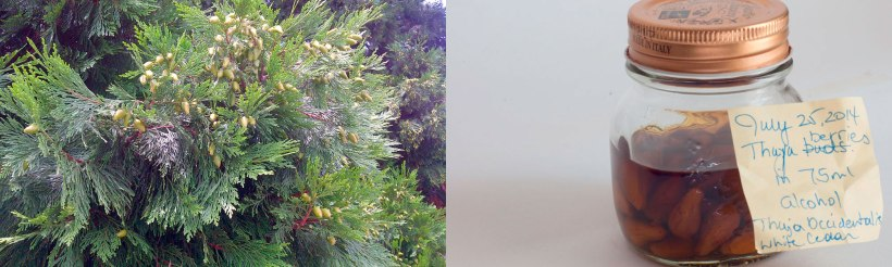 thuja-tree-and-resin